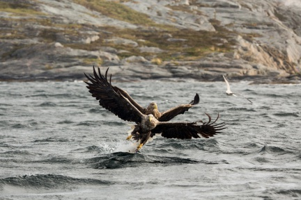 Double catch - two white-tailed eagles